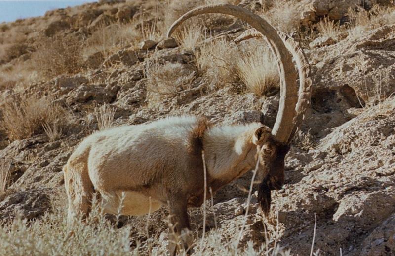 Ibex Goat IBEX, PERSIAN �...